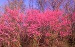 A Grove of Eastern Redbud