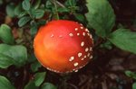 A Fly Agaric Mushroom