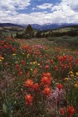 Wildflowers in the Colorado Rockies