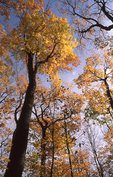 Autumn Foliage in the North Woods