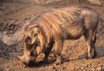 An East African Warthog
