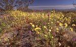 Spring Wildflowers in the Sonoran Desert