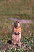 An Arctic Ground Squirrel