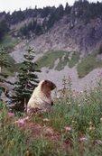 A Hoary Marmot in Paradise Park