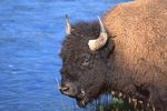 An American Bison at the Firehole River