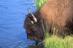 An American Bison Drinking from the Firehole River