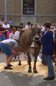 Cow Milking Contest at the Green County Cheese Days Festival