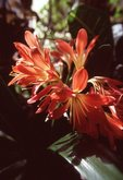 Clivia Blossoms, from the Photographer's Gardens