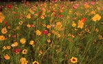 A Summer Wildflower Meadow