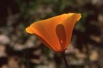 A California Poppy