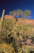 Saguaro Cactus, Brittlebush and Paloverde Tree near the Ajo Mountains