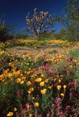 Mexican Gold Poppies and Owls Clover