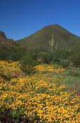 Mexican Gold Poppies near the Puerto Blanco Mountains