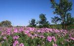 A Field of Texas Verbena