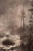 A Boreal Forest in Morning Fog