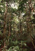 A Lowland Tropical Rainforest