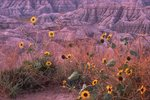 Sunflowers in the White River Badlands