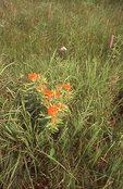 Butterfly Milkweed in an Iowa Virgin Tallgrass Prairie
