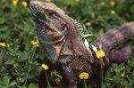 A Costa Rican Iguana