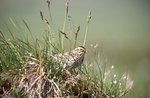 A Savannah Sparrow on its Nest in the Arctic Tundra