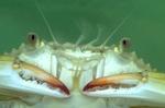 Juvenile blue crab (captive)