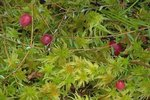 Cranberry and sphagnum moss in bog