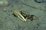 Male red-jointed fiddler crab (also known as brackish-water fiddler crab) feeding on mud flat in brackish marsh
