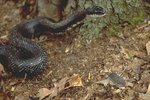 Black rat snake about to prey on baby mouse