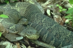 Male and female northern water snakes just after mating
