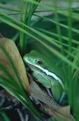 Green treefrog on loblolly pine sapling