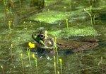Male green frog among bladderwort plants