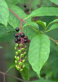 Pokeweed with ripening berries