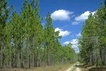 Dirt road through longleaf pine forest