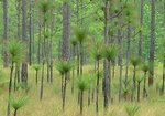 Longleaf pine saplings in longleaf pine savanna