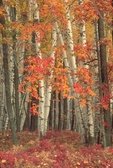 Paper birches and red maples in fall color