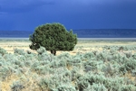 Western juniper and big sagebrush with stormy sky