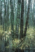 Great Dismal Swamp in winter with giant cane and trees