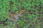 Southern leopard frog amid mosquito fern