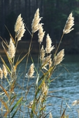 Common reed (reed grass) in fruiting stage