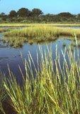 Saltmarsh cordgrass and salt marsh