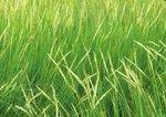 Saltmarsh cordgrass in flower, salt marsh