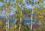 Quaking aspens and Allegheny Reservoir
