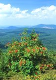 American mountain ash with fruits, atop Spruce Knob, West Virginia