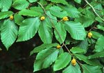 American beech with nuts