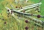 Yorktown onions and split rail fence