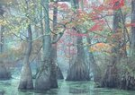 Water tupelo, bald cypress, and red maple in millpond on a foggy autumn morning