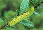 Apple sphinx moth caterpillar on meadowsweet