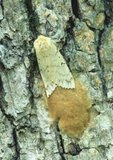 Female gypsy moth laying eggs on trunk of white oak tree