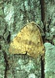 Male gypsy moth on trunk of hickory tree