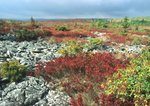 """Blueberries and """"rock stream"""", Dolly Sods Scenic Area"""